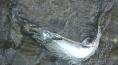 Dead salmon in the water after migrating upstream against the current to spawn Stock Footage