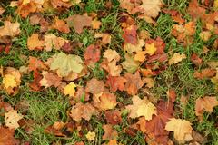 Fallen maple leaves on the ground in park Stock Photos