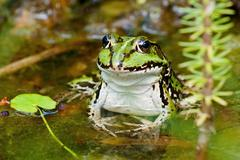 Green Frog with lifted head Stock Photos