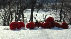 On the snow lies the small branch of tomatoes on a background of trees. Stock Footage