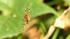 Spider Hanging on the Web Waiting For Flies. Stock Footage