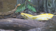 Close up of a albino Burmese python with its pink tongue showing Stock Footage