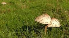"Big Finger Show ""like"" Two Big Mushrooms. Stock Footage"