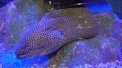 Leopard moray eel in aquarium Stock Footage