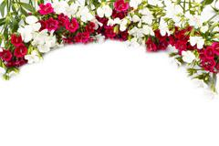 Carnation (Dianthus chinensis) Stock Photos