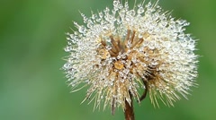 Ear of Wheat and Dandelion in the Dew. Slow Motion. Stock Footage