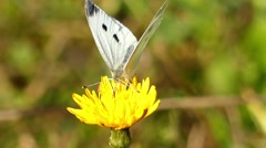 One White Butterfly Sitting on the Yellow Flower. Stock Footage