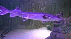 Sturgeons in decorated aquarium trekking shot Stock Footage