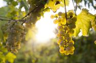 Ripe grapes in fall Stock Photos