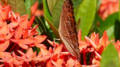 Golden Birdwing butterfly feeding on ixora flower Stock Footage