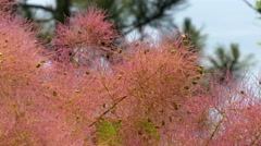 Close-up of beautiful rose pink Cotinus coggygria (European smoketree) plant Stock Footage
