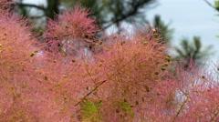Close-up of beautiful rose pink Cotinus coggygria (European smoketree) plant Stock Footage