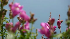 Depths of field focus change of pink flowers close-up Stock Footage