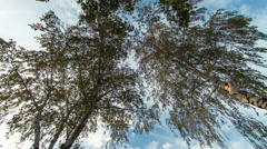 Birch trees Stock Footage