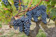 Large bunches of red wine grapes hang from an old vine in warm afternoon ligh Stock Photos