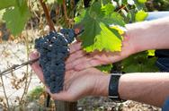 Grapes harvest. Farmers hands with freshly harvested black grapes. Stock Photos