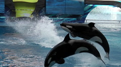 Killer whale Show Stock Footage