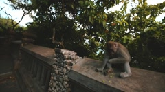 The monkey eating fruit at the temple of Uluwatu on the island of Bali,Indonesia Stock Footage