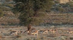 Herd of springbok antelopes, Kalahari desert, South Africa Stock Footage