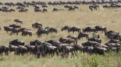 Migratory blue wildebeest, Masai Mara National Reserve, Kenya Stock Footage