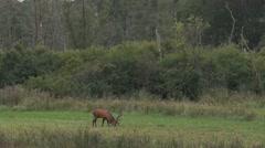 Red deer in rutting season Stock Footage