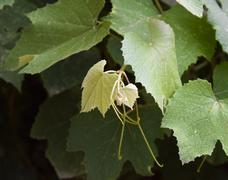 Young shoots of the vine. The vegetative part of the vineyard Stock Photos