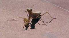 Praying Mantis Close Up  Stock Footage