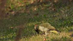 Green woodpacker searching ants Stock Footage