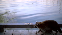Raccoon near water Stock Footage