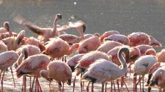 Close up of flamingos bathing at lake bogoria, kenya Stock Footage