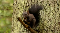Face of the Black Squirrel Chewing and Eating the Nut in Slow Motion. Stock Footage