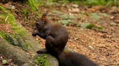 Cute Black Squirrel in Slow Motion Eating Nut in the Forest. Stock Footage