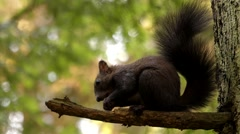 Black Squirrel Eating the Nut Sitting on the Tree. Stock Footage