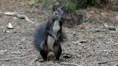 Black Squirrel Moving in Slow Motion Funding the Nut. Stock Footage