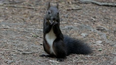 Cute Black Squirrel Eating the Nut in the Forest. Stock Footage
