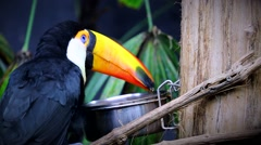 Beautiful Toco Toucan Eating Stock Footage