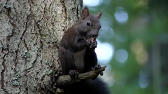 Black Squirrel in Slow Motion Eating Walnut on the Tree. Stock Footage