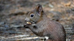 Black Squirrel in Slow Motion Eating Walnut. Close up Shot. Stock Footage