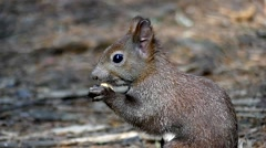 Cute Black Squirrel Eating Nut in Slow Motion and Run After That. Stock Footage