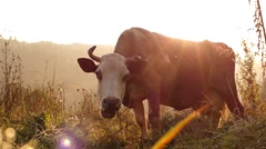 The Head of a Cow Close up Chews the Grass in the Meadow. Slow Motion at Stock Footage