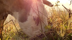 Cow's Head in the Sun, Grazing in a Meadow in the Mountains. Stock Footage