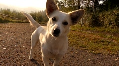 Face of Cute White Dog Looking in the Camera at Sunset. Stock Footage