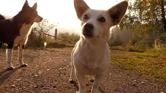 Cute White Small Dog in the Sun Lights at Sunset in Slow Motion. Stock Footage