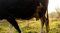 The Udder of a Cow Grazing in the Sun. Slow Motion. Stock Footage