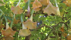 Bees Buzzing Around Angel's Trumpet Flowers Stock Footage