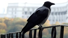 Hooded Crow Sitting on the Fence. Close up Shot. Stock Footage