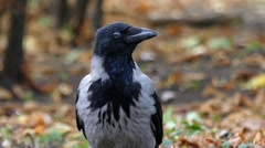 Beautiful Bird: Hooded Crow in Slow Motion. Forest. Arkistovideo