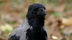 Head of Hooded Crow Close up Moving in Slow Motion. Stock Footage