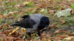 Crow Scatters the Leaves in Finding Feed. Slow Motion in the Forest. Stock Footage