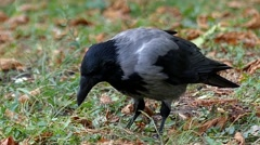 Hooded Crow Eating in Slow Motion. Stock Footage
